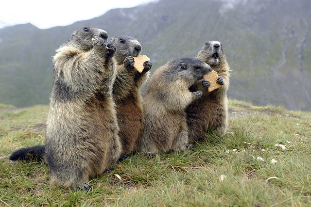 Austria - Animals - Alpine Marmots