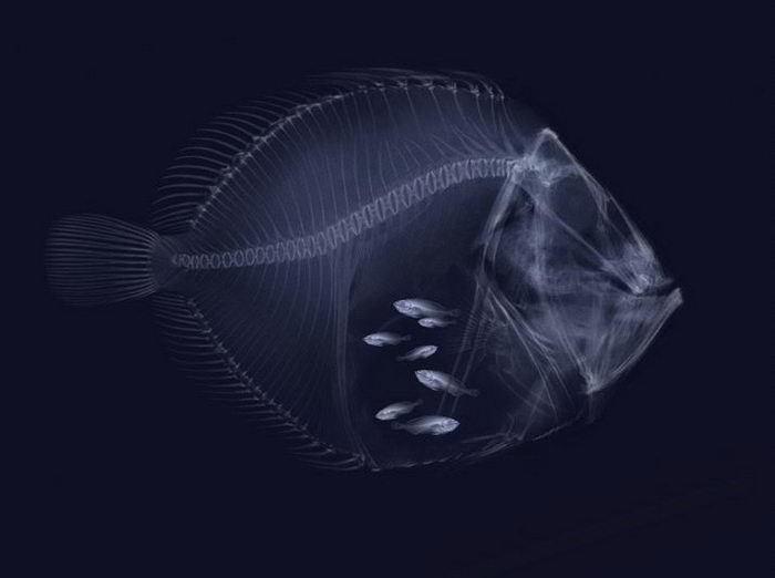 Fish Xray
